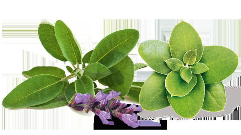 Salbeiblüte und Eukalyptus